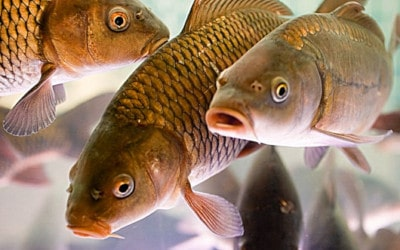 До чого сниться риба