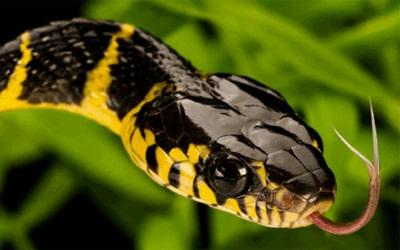 Сонник змія