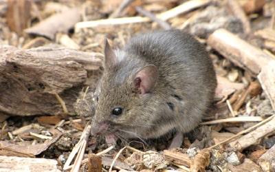 Сонник миші, до чого сниться сон миші?